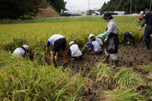 稲を手刈り