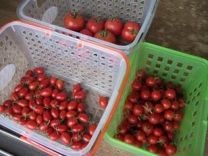 151001トマト
