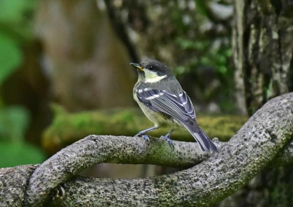 ヒガラ幼鳥2-023