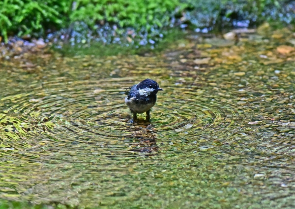 ヒガラ幼鳥3 -008