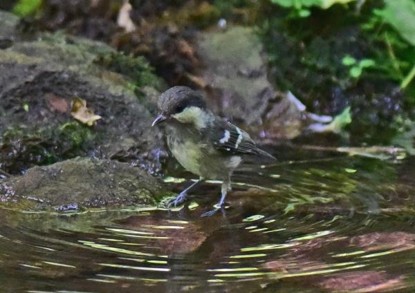 ヒガラ幼鳥4 -082
