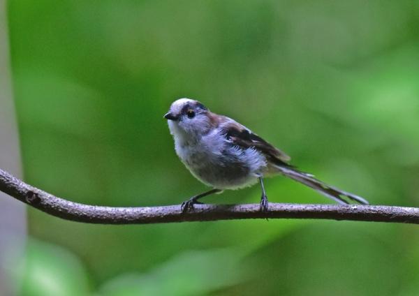 エナガ幼鳥2 -028