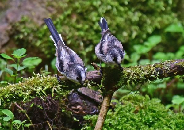 エナガ幼鳥3 -090