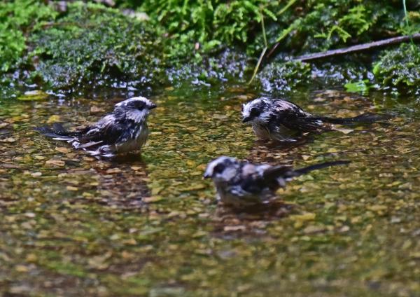 エナガ幼鳥4 -126
