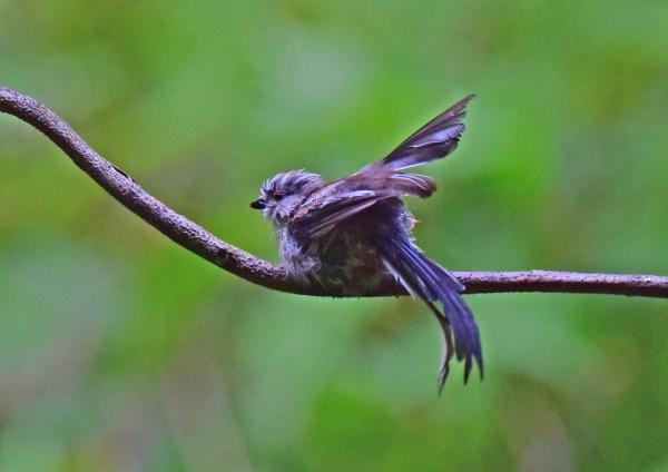 エナガ幼鳥5 -117