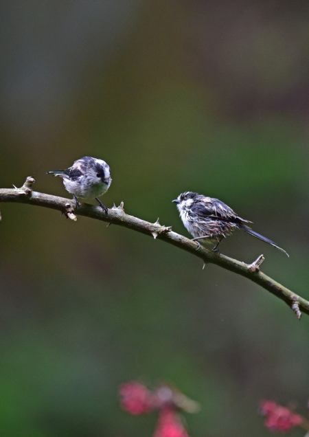 エナガ幼鳥1 -145