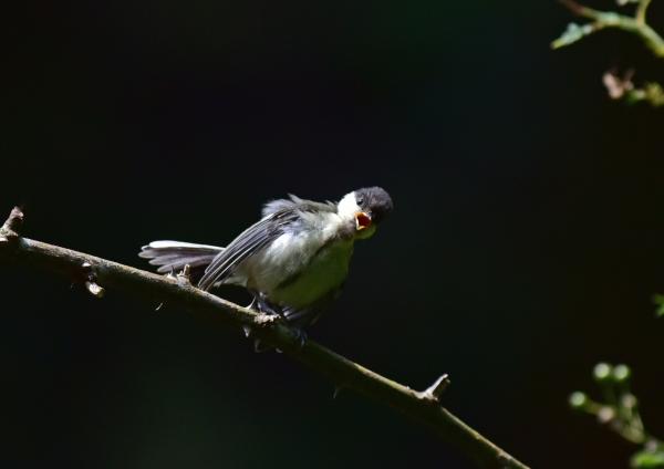 シジュウカラ5幼鳥 -089