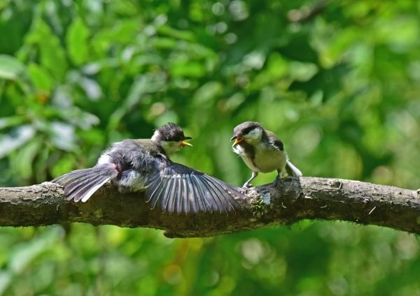 シジュウカラ幼鳥1 -116