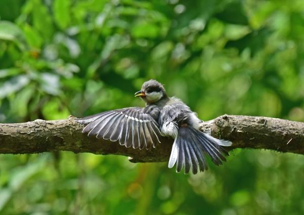 シジュウカラ幼鳥2 -134