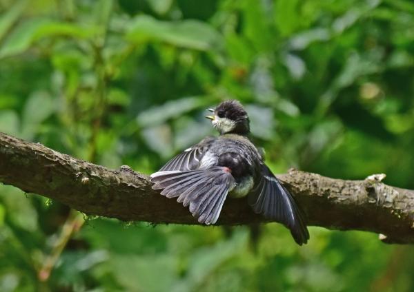 シジュウカラ幼鳥3 -096