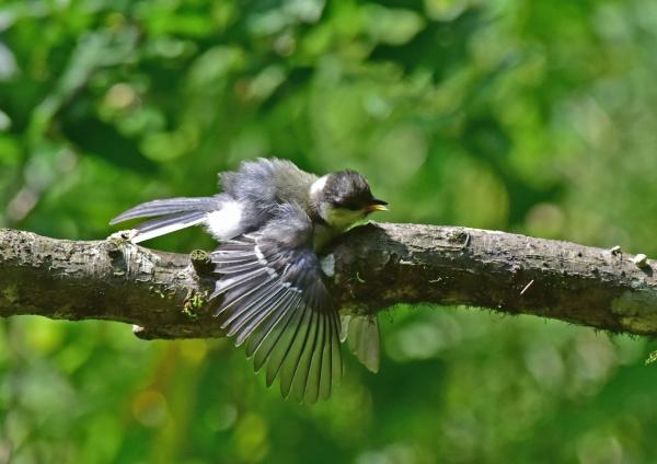 シジュウカラ幼鳥5 -101