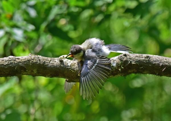 シジュウカラ幼鳥5 -106