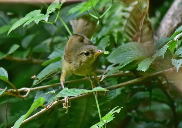 ウグイス幼鳥1 -050