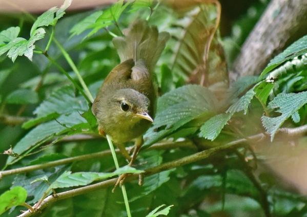 ウグイス幼鳥3 -049