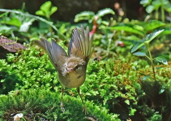 ウグイス幼鳥4 -066
