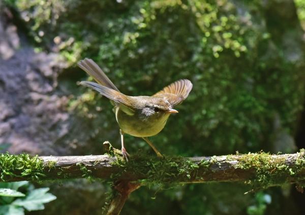 ウグイス幼鳥5 -061