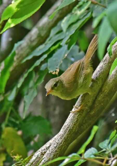 ウグイス幼鳥2 -054