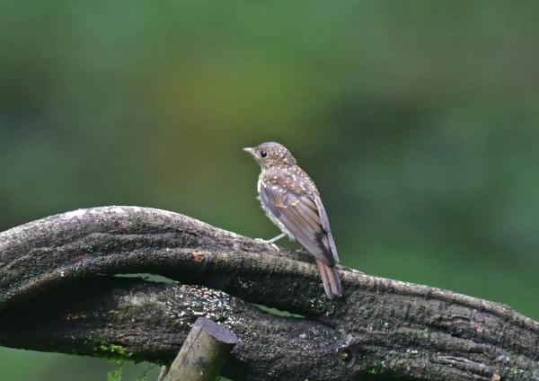 キビタキ幼鳥1 -004