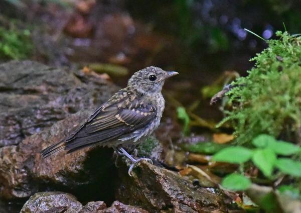 キビタキ幼鳥2 -011