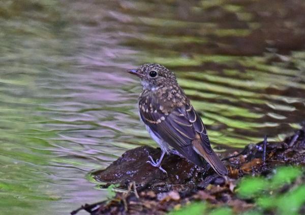 キビタキ幼鳥3 -016