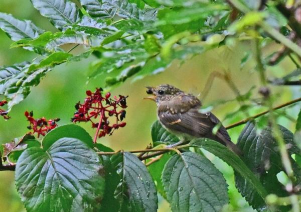 キビタキ幼鳥4 -007