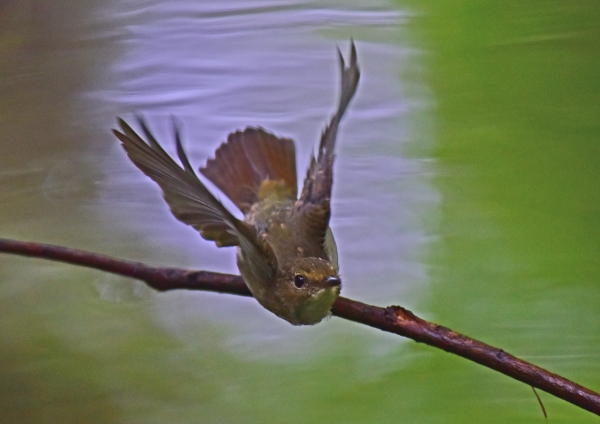 キビタキ幼鳥5 -045