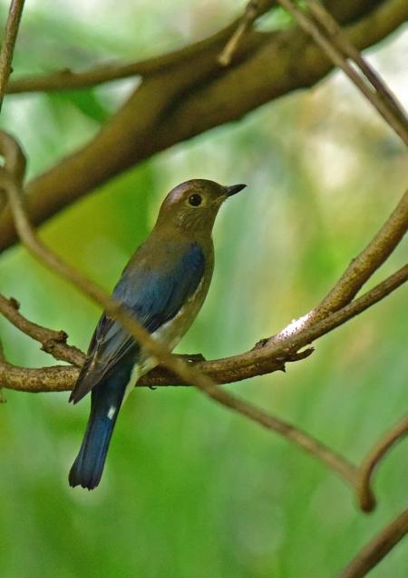 オオルリ幼鳥1 -067