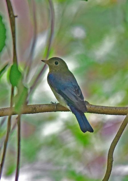 オオルリ幼鳥2 -128