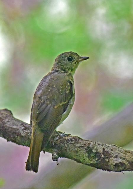 オオルリ幼鳥3 -052