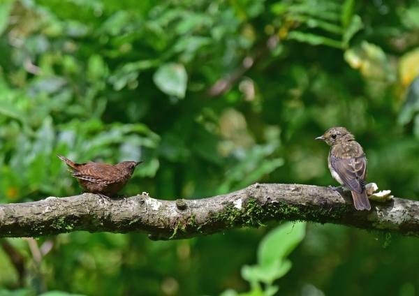 1キビタキ幼鳥とミソサザイ