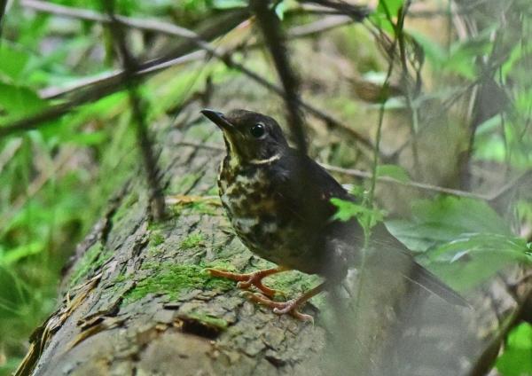 クロツグミ幼鳥6 -172