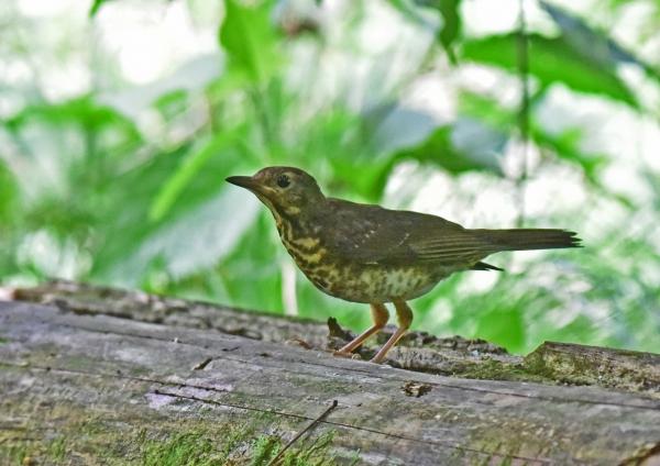 クロツグミ幼鳥5 -170