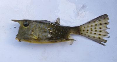 コンゴウフグ成魚