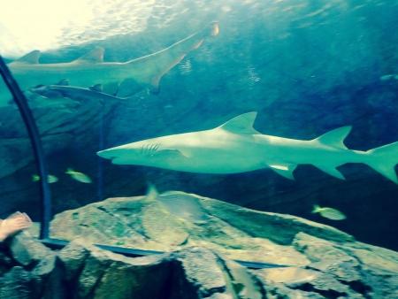 Shark2 (1)