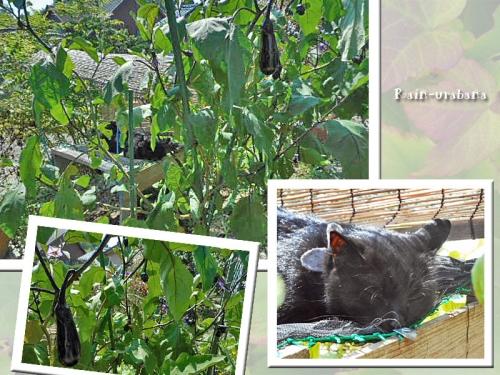 茄子の木陰でグゥ~スカピィ~♪