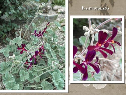 """ペラルゴニウム・シドイデス""""イングランドバイオレット""""ひっそり咲いてます♪"""