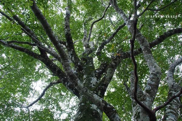 岡山県立森林公園 ブナの森