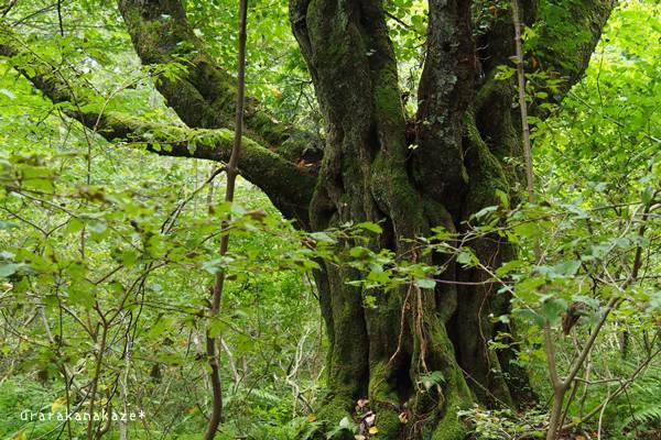 岡山県立森林公園 オオヤマザクラ