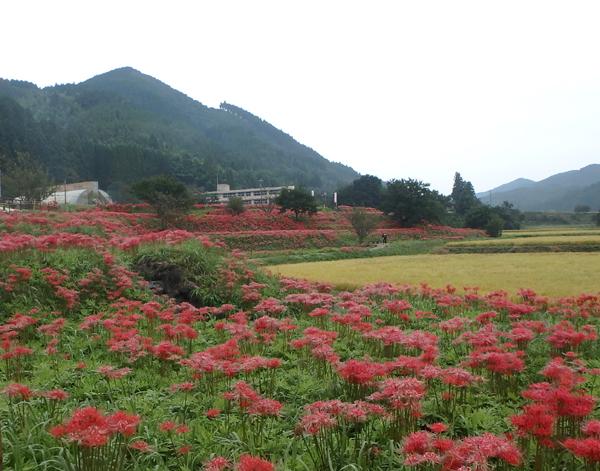 27_09_26 那須、簑沢の彼岸花 1