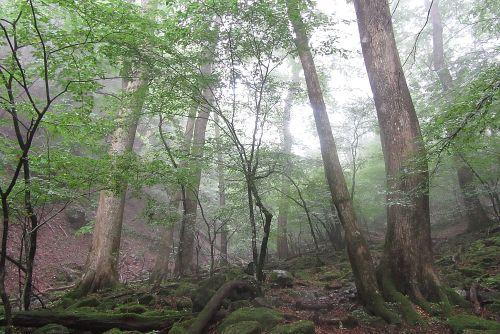 シオジの森