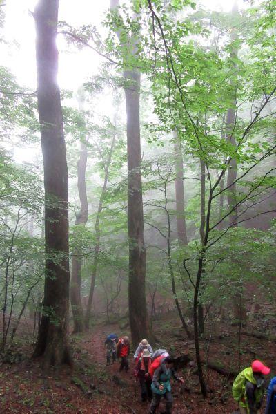シオジの森2