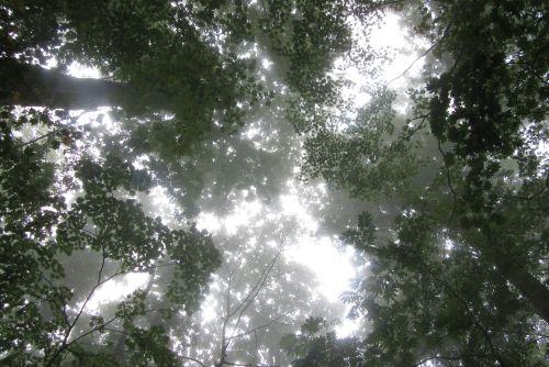 シオジの森の林冠
