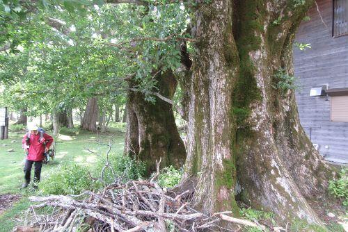 ハルニレ巨木