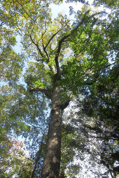 シナノキ巨木