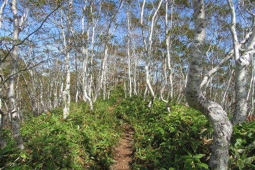 美しいダケカンバ林
