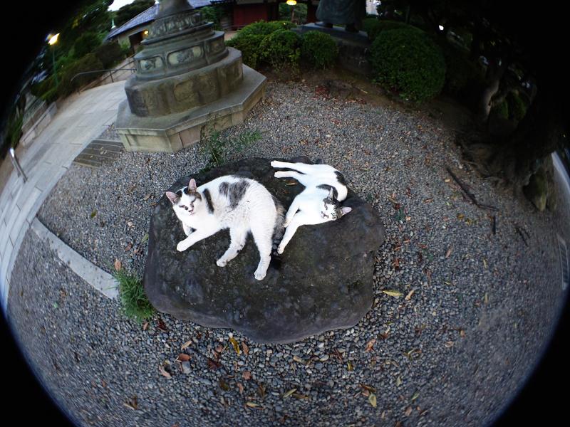 広角で岩の上の猫を