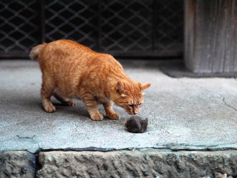 毛玉を嗅ぐ猫