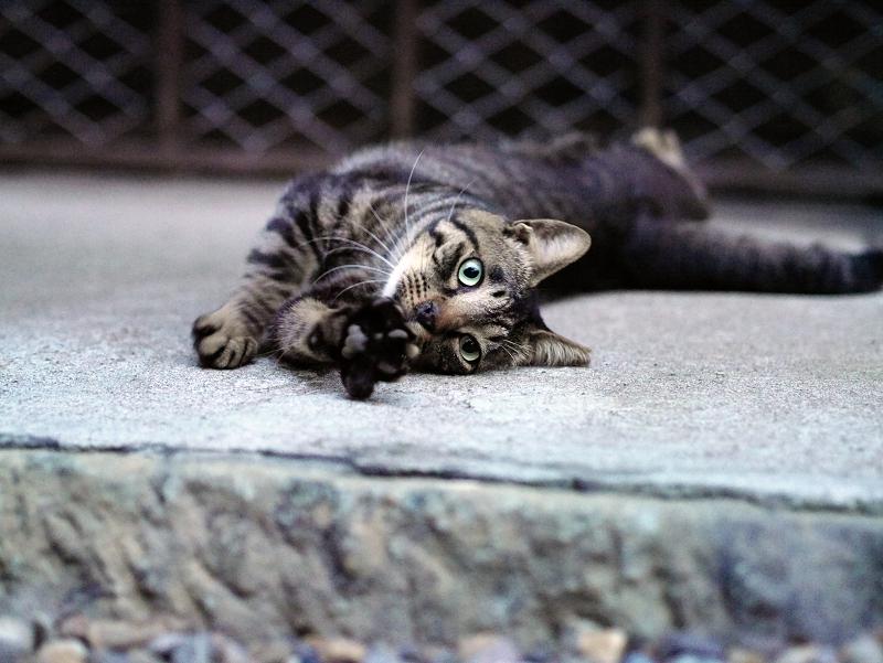 手を伸ばしカメラ目線の猫