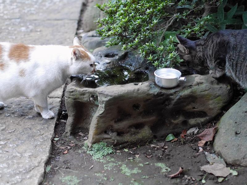 水飲み猫とキジトラ猫1
