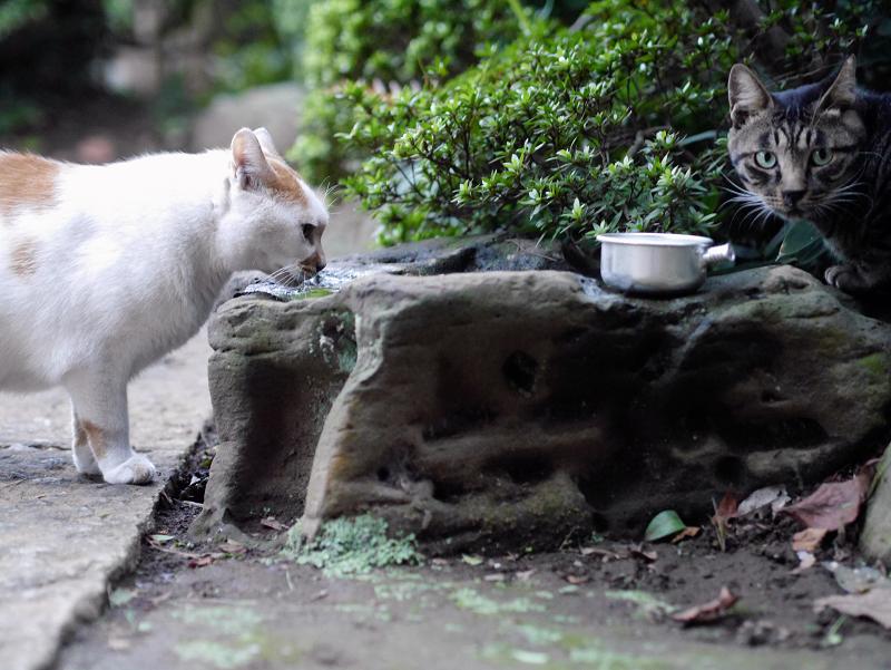 水飲み猫とキジトラ猫2